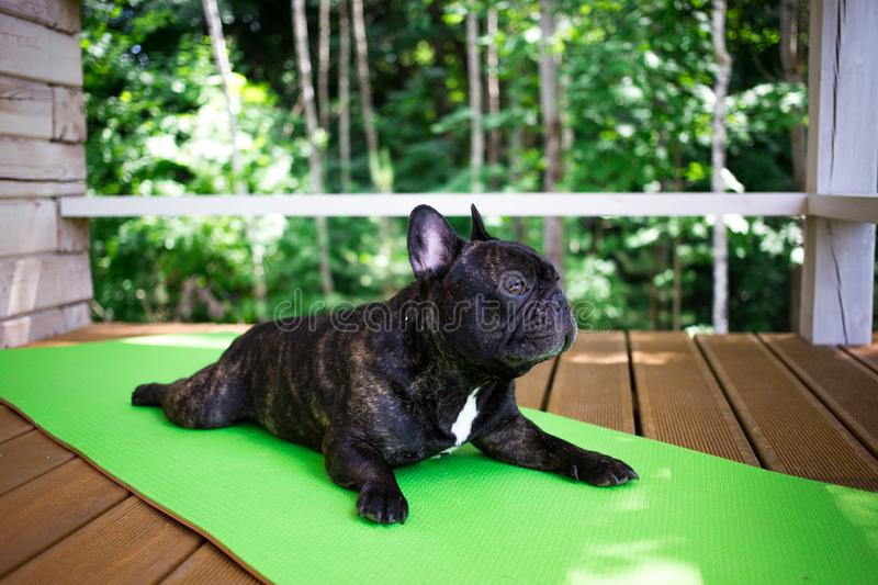 Brindle French bulldog lying on the yoga carpet on the terrace in summer, dogs poses. French bulldog lying on the yoga carpet on the terrace in summer, dogs stock images