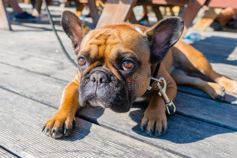 French bulldog on brown terrace. Looking at camera royalty free stock photo