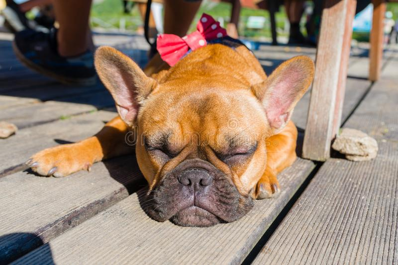 French bulldog on brown terrace. French bulldog sleeping on brown terrace stock photography