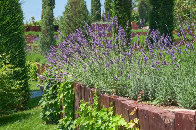 Garden multi level landscaping. French lilac purple fragrant lavender in wooden terrace in the garden flower bed. Summer mood. Garden multi level landscaping royalty free stock photos