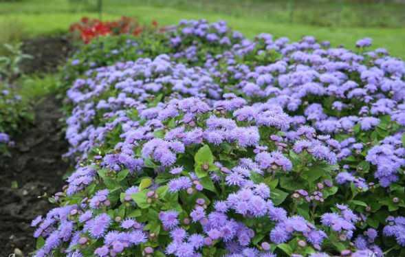 Однолетние цветы, цветущие всео название и фото лучшие варианты